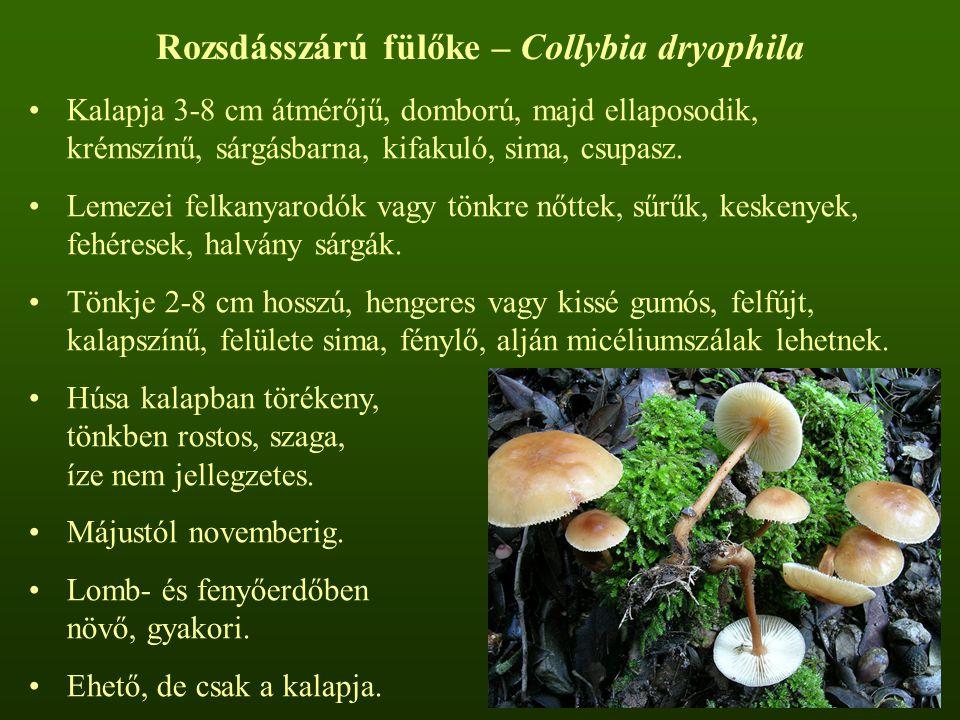 Rozsdásszárú fülőke – Collybia dryophila Kalapja 3-8 cm átmérőjű, domború, majd ellaposodik, krémszínű, sárgásbarna, kifakuló, sima, csupasz.
