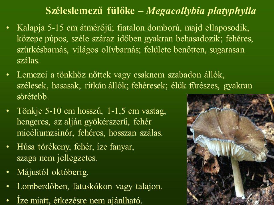 Széleslemezű fülőke – Megacollybia platyphylla Kalapja 5-15 cm átmérőjű; fiatalon domború, majd ellaposodik, közepe púpos, széle száraz időben gyakran behasadozik; fehéres, szürkésbarnás, világos olívbarnás; felülete benőtten, sugarasan szálas.