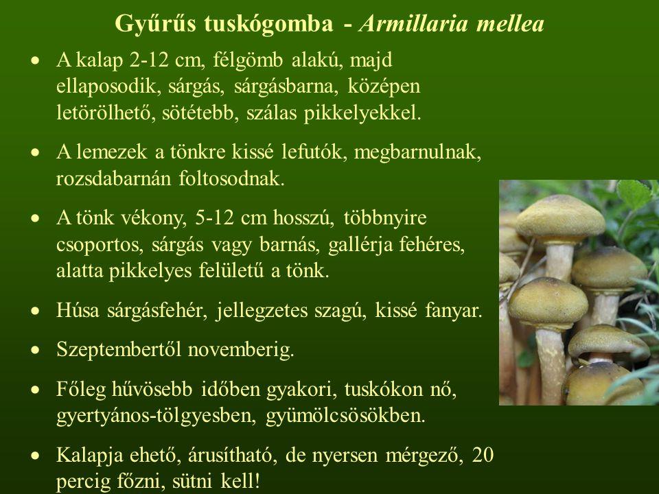 Gyűrűs tuskógomba - Armillaria mellea