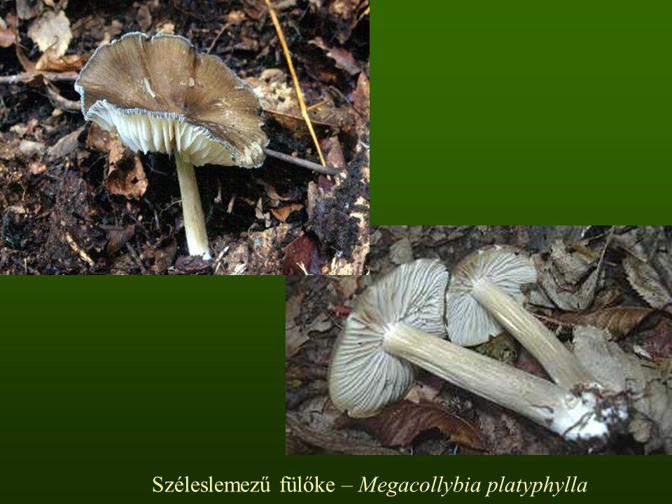 Széleslemezű fülőke – Megacollybia platyphylla