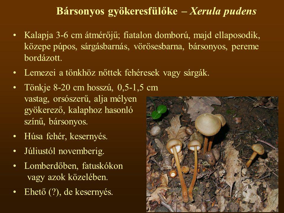 Bársonyos gyökeresfülőke – Xerula pudens Kalapja 3-6 cm átmérőjű; fiatalon domború, majd ellaposodik, közepe púpos, sárgásbarnás, vörösesbarna, bársonyos, pereme bordázott.