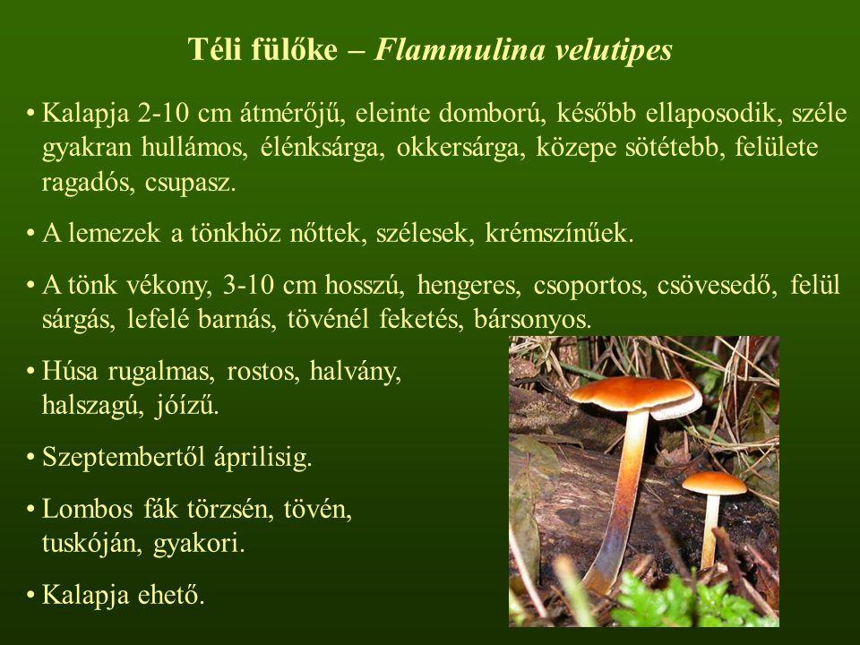 Téli fülőke – Flammulina velutipes Kalapja 2-10 cm átmérőjű, eleinte domború, később ellaposodik, széle gyakran hullámos, élénksárga, okkersárga, közepe sötétebb, felülete ragadós, csupasz.