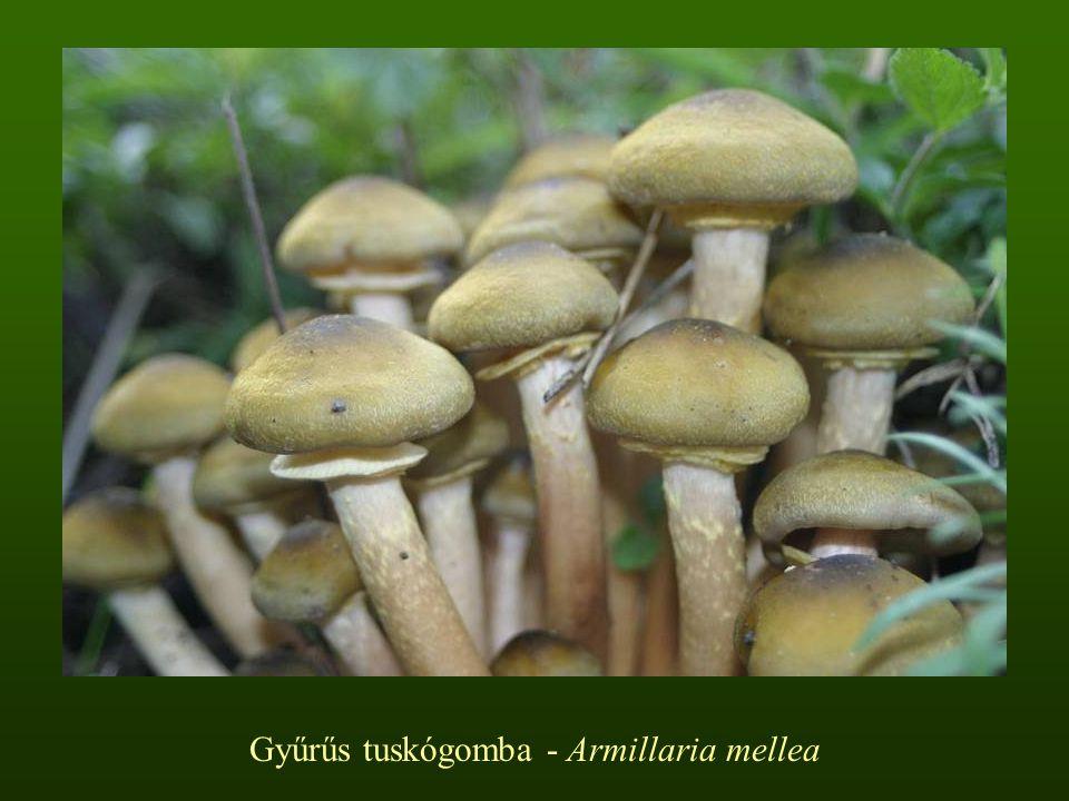 Sárgatejű kígyógomba – Mycena crocata Kalapja 1-2-(3) cm, kúpos vagy harang alakú, középen kis púppal; széle bordázott; felszíne a közepéig bordázott; színe világos vagy sötét olív-szürkésbarna, gyakran narancsszínű foltokkal a tejnedvtől Lemezei középsűrűk, fehérek, felkanyarodók, a tejnedvtől narancs foltokkal Tönkje 5-9-(11) x 0,1-0,2 cm, hengeres, karcsú, görbülhet, a kalap alatt narancsszínű, lefelé egyre sötétebb Lehullott lombos ágakon, gallyakon tápanyagdús erdőkben, főleg bükkösökben, júniustól októberig Nem ehető