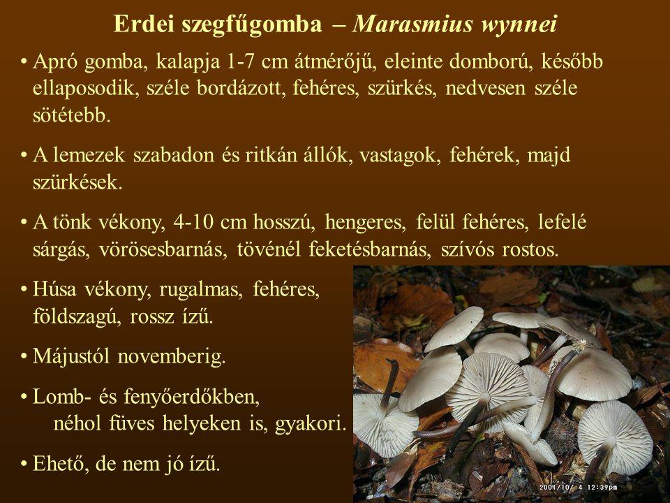 Erdei szegfűgomba – Marasmius wynnei Apró gomba, kalapja 1-7 cm átmérőjű, eleinte domború, később ellaposodik, széle bordázott, fehéres, szürkés, nedvesen széle sötétebb.