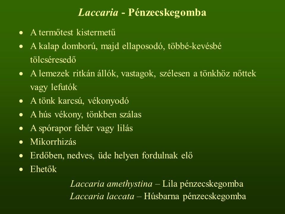 Laccaria - Pénzecskegomba  A termőtest kistermetű  A kalap domború, majd ellaposodó, többé-kevésbé tölcséresedő  A lemezek ritkán állók, vastagok, szélesen a tönkhöz nőttek vagy lefutók  A tönk karcsú, vékonyodó  A hús vékony, tönkben szálas  A spórapor fehér vagy lilás  Mikorrhizás  Erdőben, nedves, üde helyen fordulnak elő  Ehetők Laccaria amethystina – Lila pénzecskegomba Laccaria laccata – Húsbarna pénzecskegomba