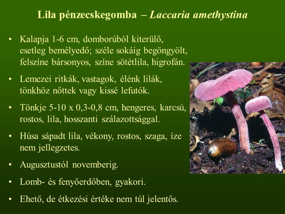 Lila pénzecskegomba – Laccaria amethystina Kalapja 1-6 cm, domborúból kiterülő, esetleg bemélyedő; széle sokáig begöngyölt, felszíne bársonyos, színe sötétlila, higrofán.