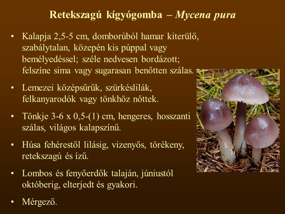 Retekszagú kígyógomba – Mycena pura Kalapja 2,5-5 cm, domborúból hamar kiterülő, szabálytalan, közepén kis púppal vagy bemélyedéssel; széle nedvesen bordázott; felszíne sima vagy sugarasan benőtten szálas.