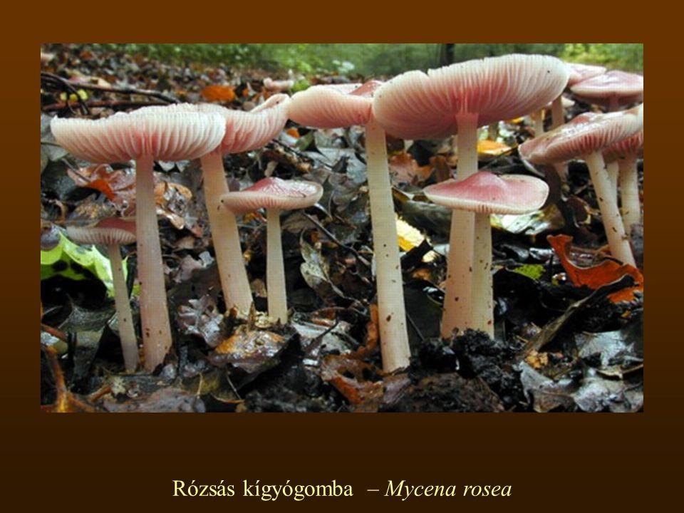 Rózsás kígyógomba – Mycena rosea