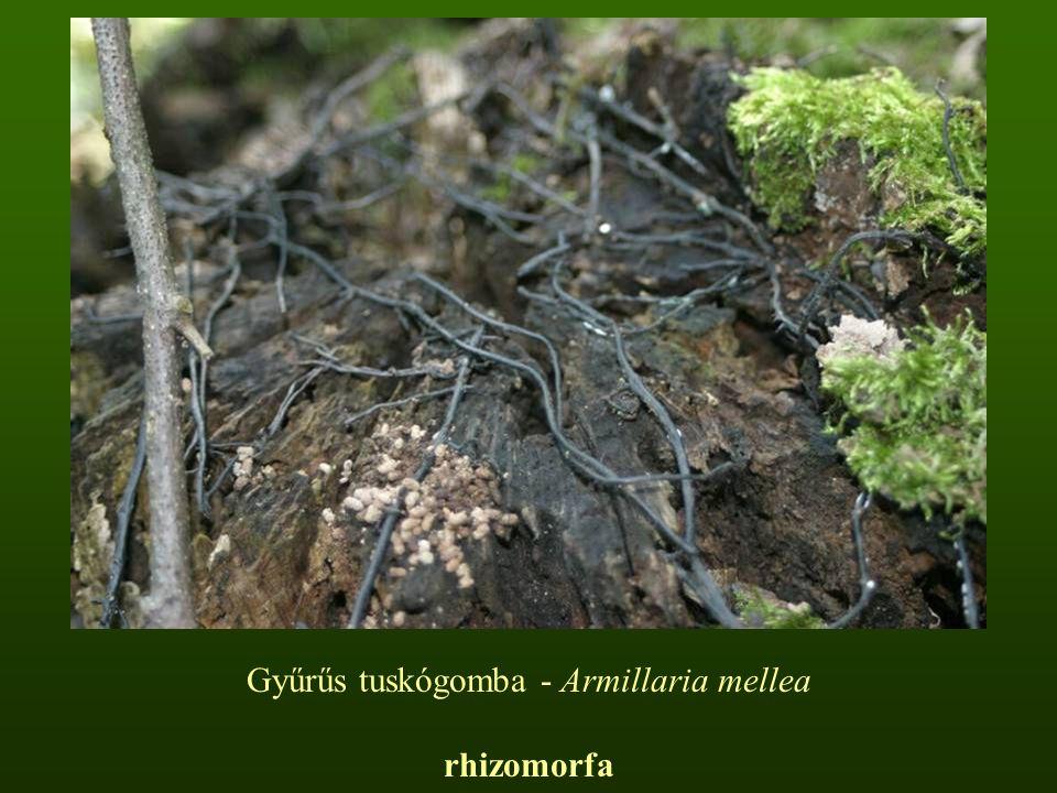 Húsbarna pénzecskegomba – Laccaria laccata Kalapja 1-6 cm, félgömb alakúból domború, majd szabálytalanul kiterülő, esetleg bemélyedő; széle áttetszően bordázott; felszíne sugarasan szálas vagy finoman pikkelykés; színe narancsbarna vagy húsbarna, higrofán Lemezei ritkák, hússzínűek, tönkhöz nőttek vagy lefutók.