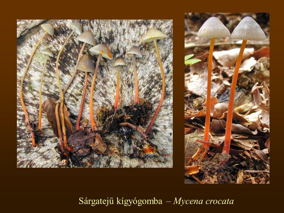 Sárgatejű kígyógomba – Mycena crocata