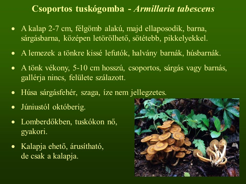 Csoportos tuskógomba - Armillaria tabescens  A kalap 2-7 cm, félgömb alakú, majd ellaposodik, barna, sárgásbarna, középen letörölhető, sötétebb, pikkelyekkel.