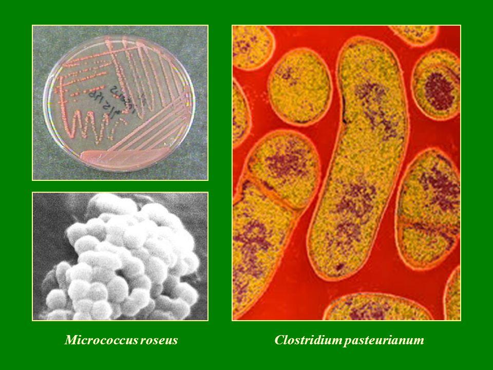 -talajlakó szimbionta fajok, nitrogénkötők (az Alnus, Myrica, Elaeagnaceae, Juglans fajokon) Frankia alni (Nocardia alni)