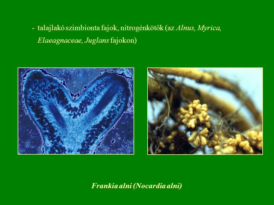 Békanyál - Spirogyra nitida