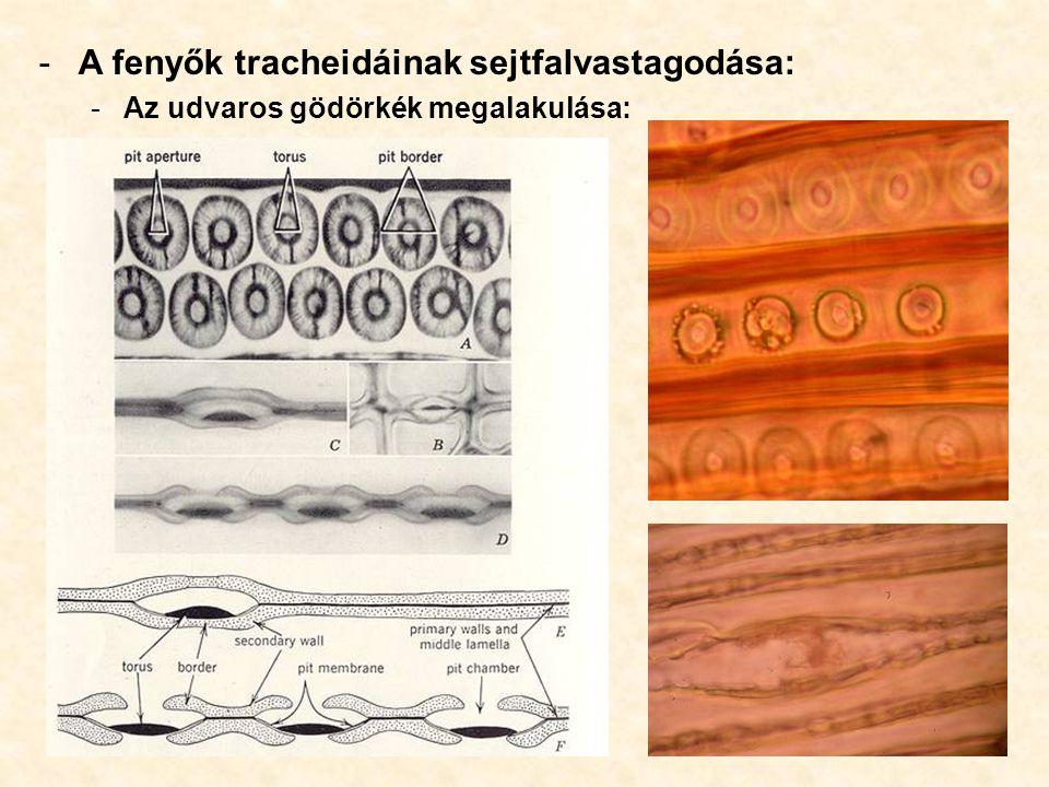 -A fenyők tracheidáinak sejtfalvastagodása: -Az udvaros gödörkék megalakulása: