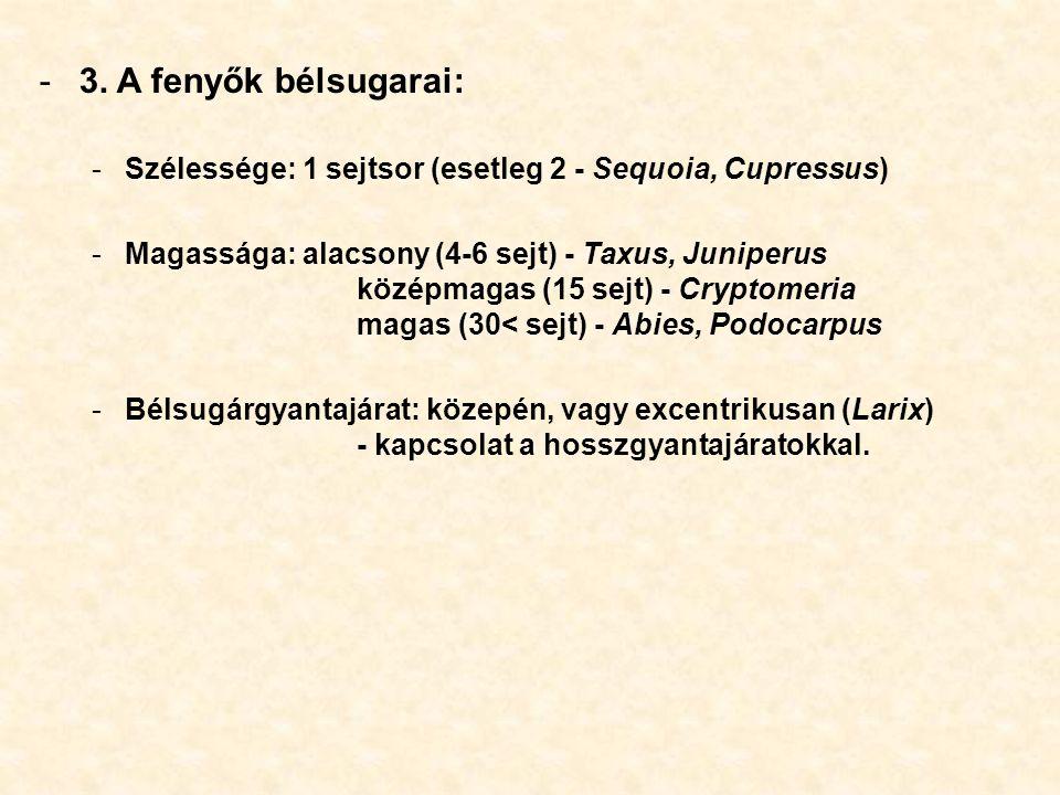 -3. A fenyők bélsugarai: -Szélessége: 1 sejtsor (esetleg 2 - Sequoia, Cupressus) -Magassága: alacsony (4-6 sejt) - Taxus, Juniperus középmagas (15 sej