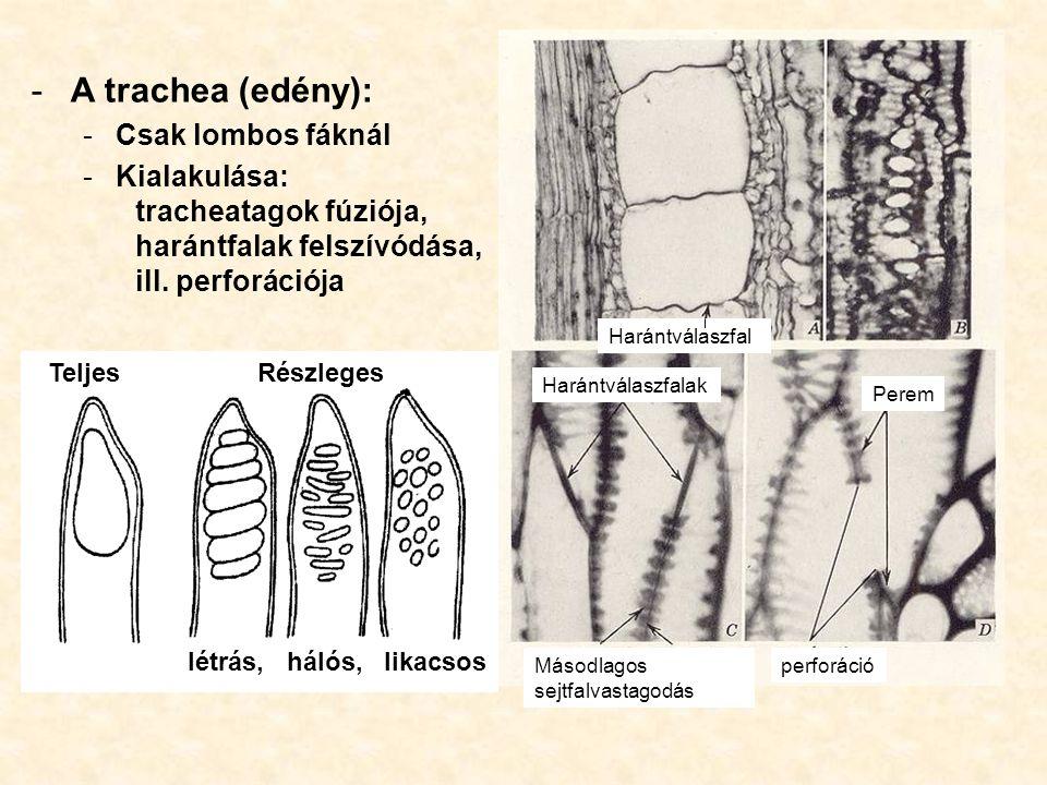 -A trachea (edény): -Csak lombos fáknál -Kialakulása: tracheatagok fúziója, harántfalak felszívódása, ill. perforációja Harántválaszfal Harántválaszfa