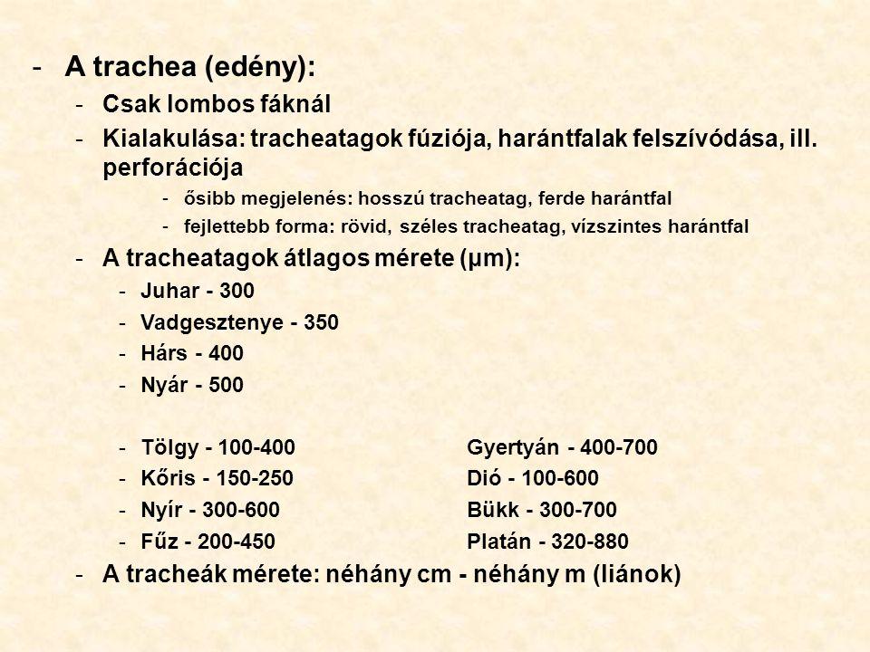 -A trachea (edény): -Csak lombos fáknál -Kialakulása: tracheatagok fúziója, harántfalak felszívódása, ill. perforációja -ősibb megjelenés: hosszú trac