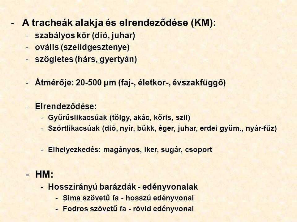 -A tracheák alakja és elrendeződése (KM): -szabályos kör (dió, juhar) -ovális (szelídgesztenye) -szögletes (hárs, gyertyán) -Átmérője: 20-500 μm (faj-