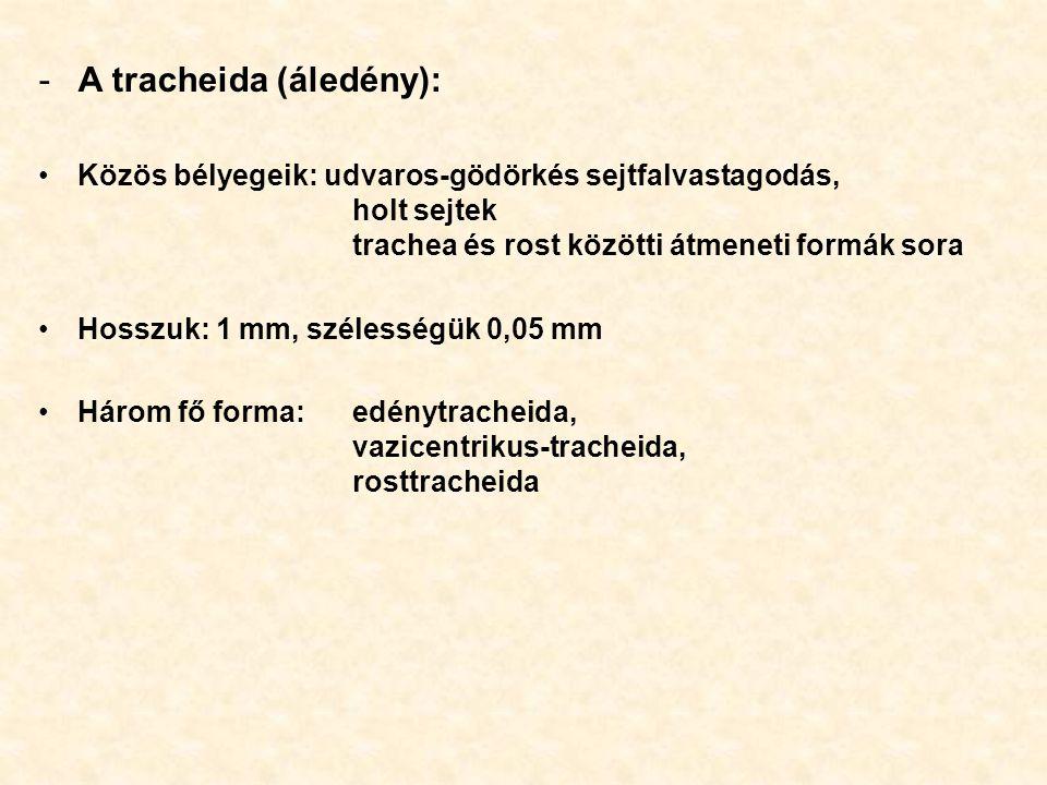 -A tracheida (áledény): Közös bélyegeik: udvaros-gödörkés sejtfalvastagodás, holt sejtek trachea és rost közötti átmeneti formák sora Hosszuk: 1 mm, s