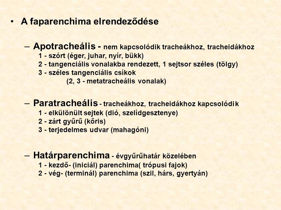 A faparenchima elrendeződése –Apotracheális - nem kapcsolódik tracheákhoz, tracheidákhoz 1 - szórt (éger, juhar, nyír, bükk) 2 - tangenciális vonalakb