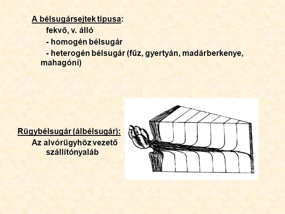 A bélsugársejtek típusa: fekvő, v. álló - homogén bélsugár - heterogén bélsugár (fűz, gyertyán, madárberkenye, mahagóni) Rügybélsugár (álbélsugár): Az
