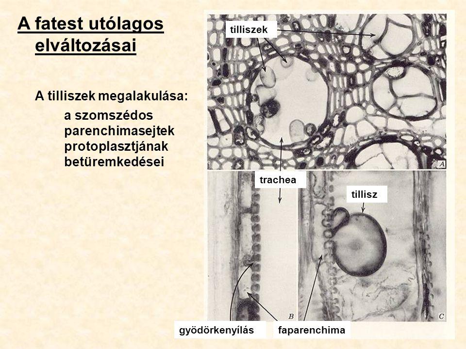 A fatest utólagos elváltozásai A tilliszek megalakulása: a szomszédos parenchimasejtek protoplasztjának betüremkedései tilliszek trachea tillisz gyödö