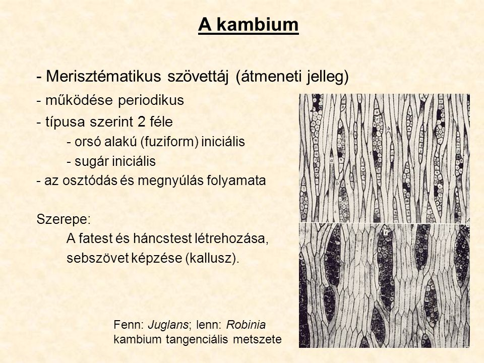 A kambium - Merisztématikus szövettáj (átmeneti jelleg) - működése periodikus - típusa szerint 2 féle - orsó alakú (fuziform) iniciális - sugár iniciá