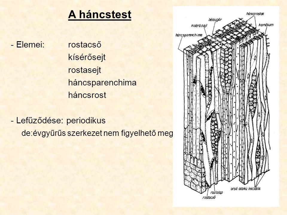 A háncstest - Elemei: rostacső kísérősejt rostasejt háncsparenchima háncsrost - Lefűződése: periodikus de:évgyűrűs szerkezet nem figyelhető meg
