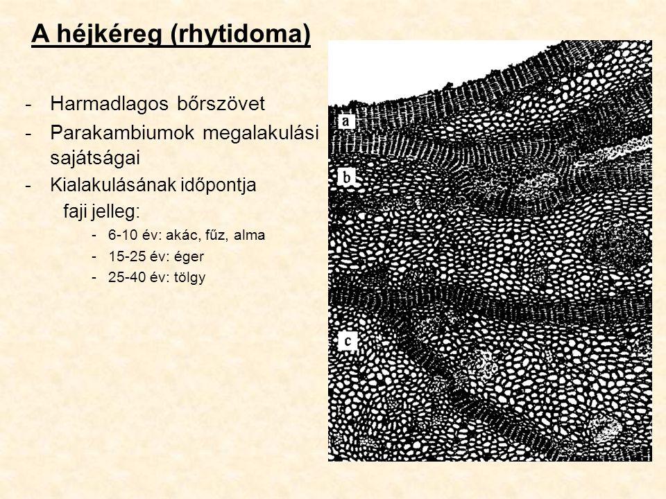 A héjkéreg (rhytidoma) -Harmadlagos bőrszövet -Parakambiumok megalakulási sajátságai -Kialakulásának időpontja faji jelleg: -6-10 év: akác, fűz, alma