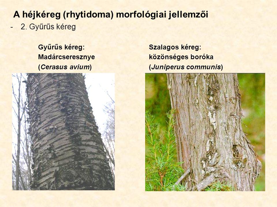 A héjkéreg (rhytidoma) morfológiai jellemzői -2. Gyűrűs kéreg Gyűrűs kéreg:Szalagos kéreg: Madárcseresznyeközönséges boróka (Cerasus avium)(Juniperus