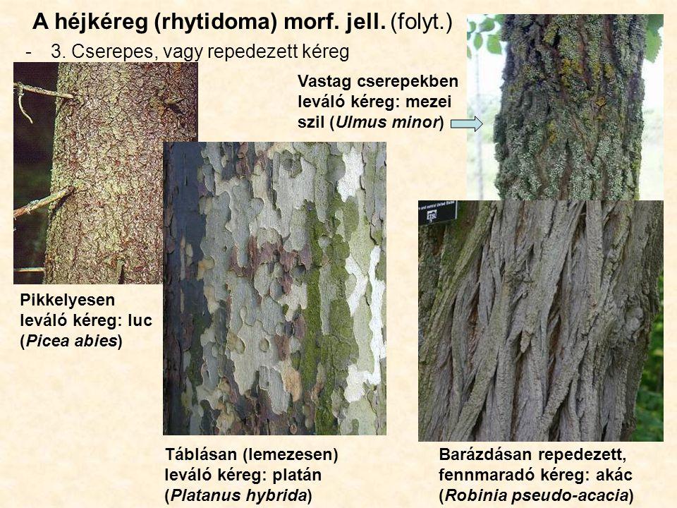 A héjkéreg (rhytidoma) morf. jell. (folyt.) -3. Cserepes, vagy repedezett kéreg Pikkelyesen leváló kéreg: luc (Picea abies) Táblásan (lemezesen) levál