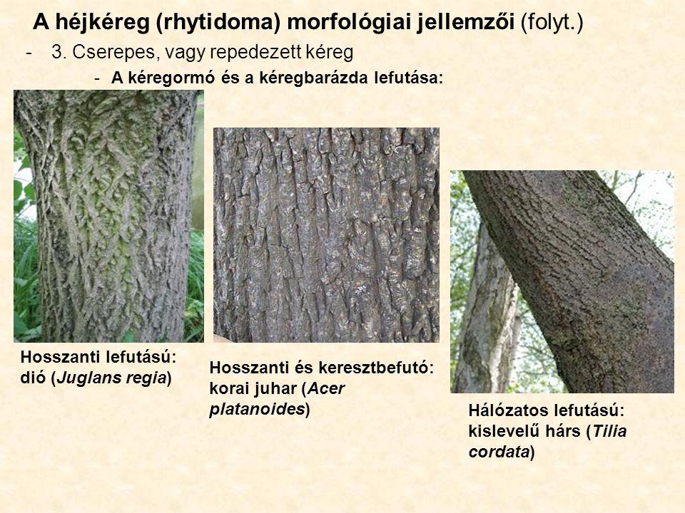 A héjkéreg (rhytidoma) morfológiai jellemzői (folyt.) -3. Cserepes, vagy repedezett kéreg -A kéregormó és a kéregbarázda lefutása: Hosszanti lefutású: