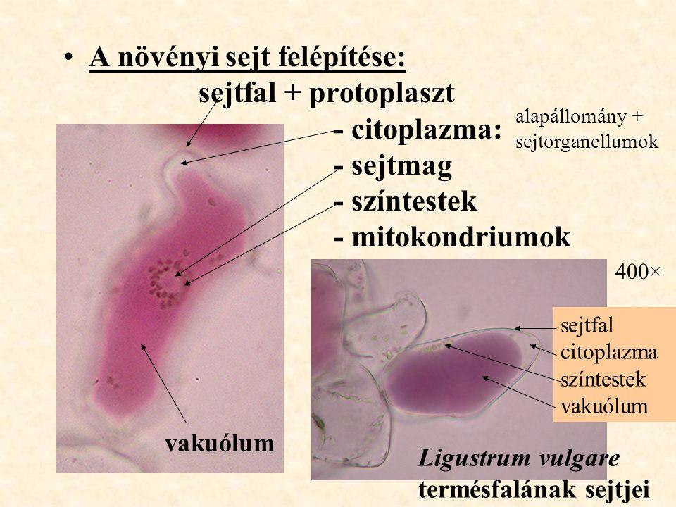A növényi sejt felépítése: sejtfal + protoplaszt - citoplazma: - sejtmag - színtestek - mitokondriumok vakuólum Ligustrum vulgare termésfalának sejtje