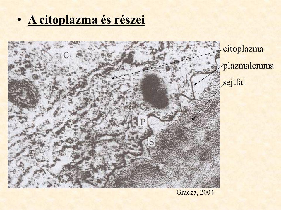 A citoplazma és részei citoplazma plazmalemma sejtfal Gracza, 2004