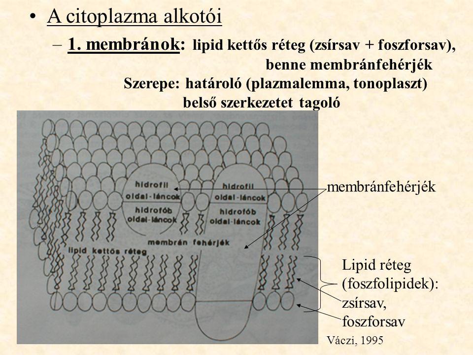A citoplazma alkotói –1. membránok: lipid kettős réteg (zsírsav + foszforsav), benne membránfehérjék Szerepe: határoló (plazmalemma, tonoplaszt) belső