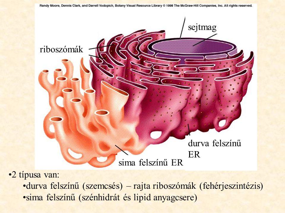 2 típusa van: durva felszínű (szemcsés) – rajta riboszómák (fehérjeszintézis) sima felszínű (szénhidrát és lipid anyagcsere) durva felszínű ER sima fe
