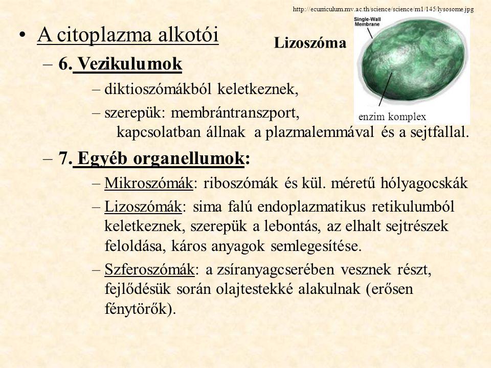 A citoplazma alkotói –6. Vezikulumok –diktioszómákból keletkeznek, –szerepük: membrántranszport, kapcsolatban állnak a plazmalemmával és a sejtfallal.