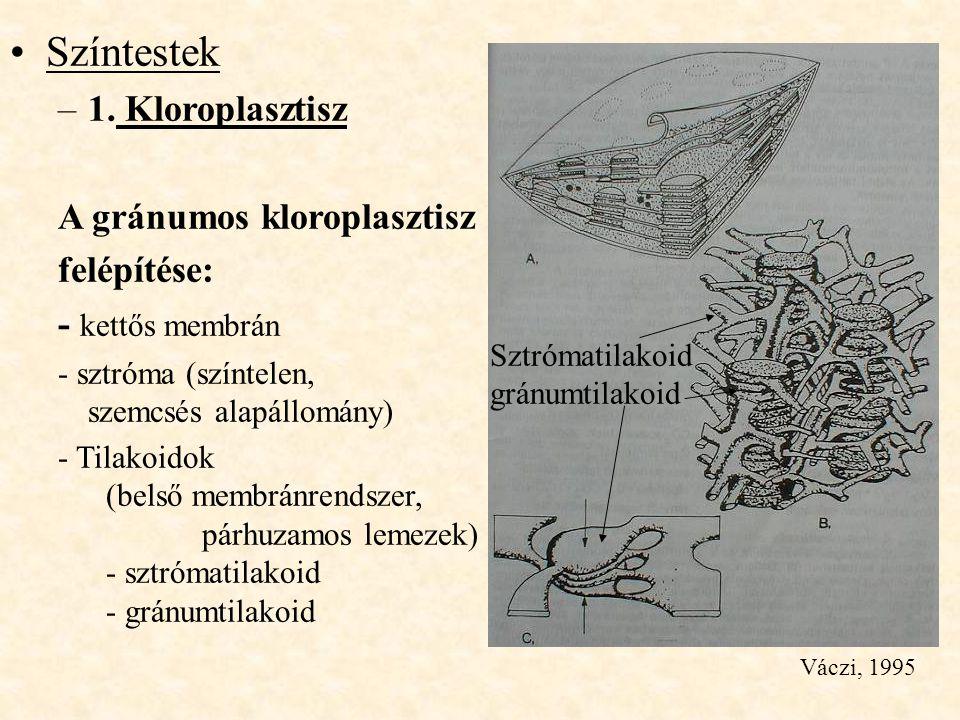Színtestek –1. Kloroplasztisz A gránumos kloroplasztisz felépítése: - kettős membrán - sztróma (színtelen, szemcsés alapállomány) - Tilakoidok (belső
