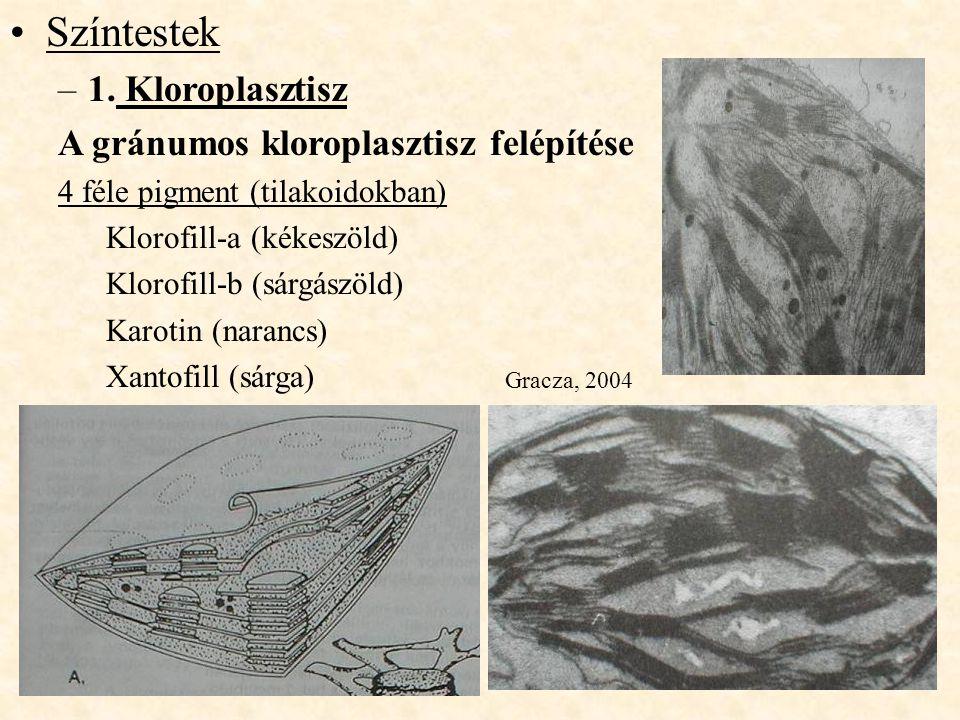 Színtestek –1. Kloroplasztisz A gránumos kloroplasztisz felépítése 4 féle pigment (tilakoidokban) Klorofill-a (kékeszöld) Klorofill-b (sárgászöld) Kar