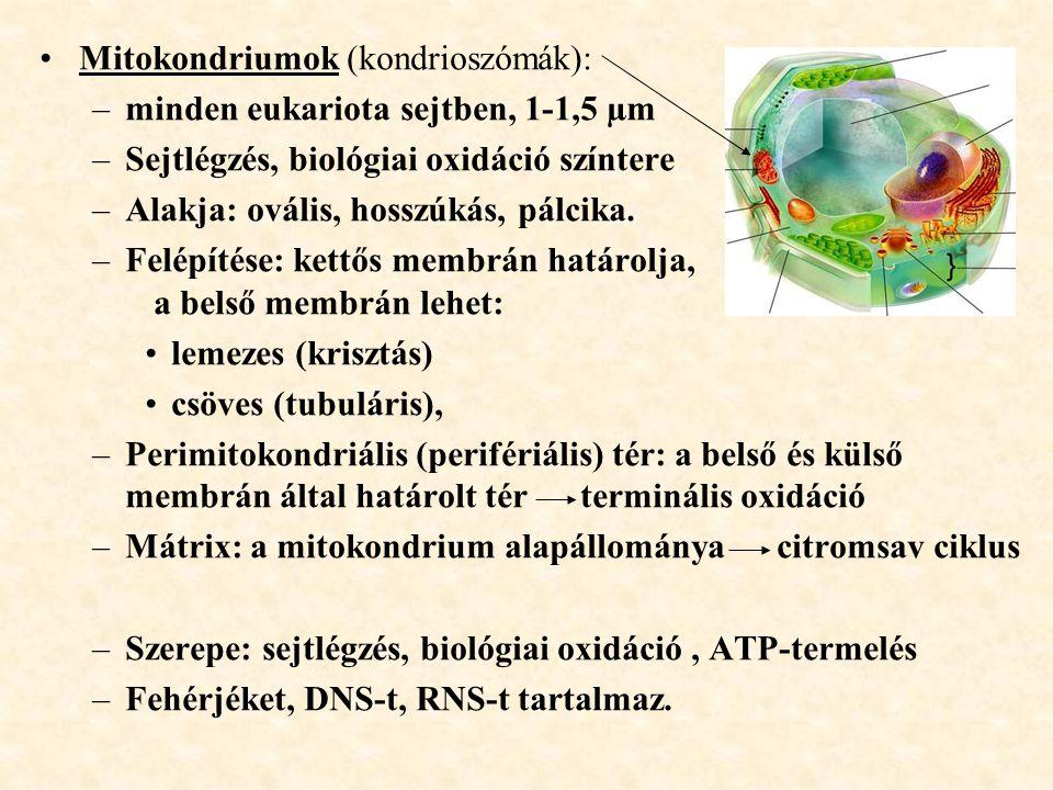 Mitokondriumok (kondrioszómák): –minden eukariota sejtben, 1-1,5 µm –Sejtlégzés, biológiai oxidáció színtere –Alakja: ovális, hosszúkás, pálcika. –Fel