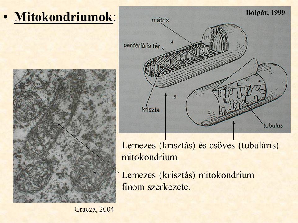 Mitokondriumok: Lemezes (krisztás) és csöves (tubuláris) mitokondrium. Lemezes (krisztás) mitokondrium finom szerkezete. Gracza, 2004 Bolgár, 1999