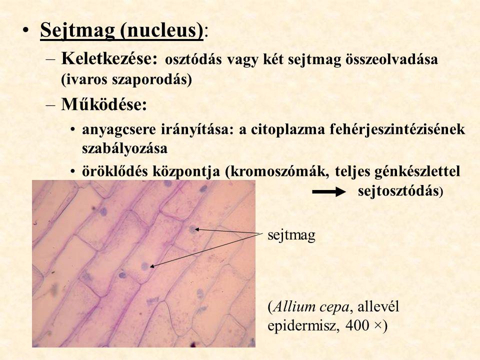Sejtmag (nucleus): –Keletkezése: osztódás vagy két sejtmag összeolvadása (ivaros szaporodás) –Működése: anyagcsere irányítása: a citoplazma fehérjeszi