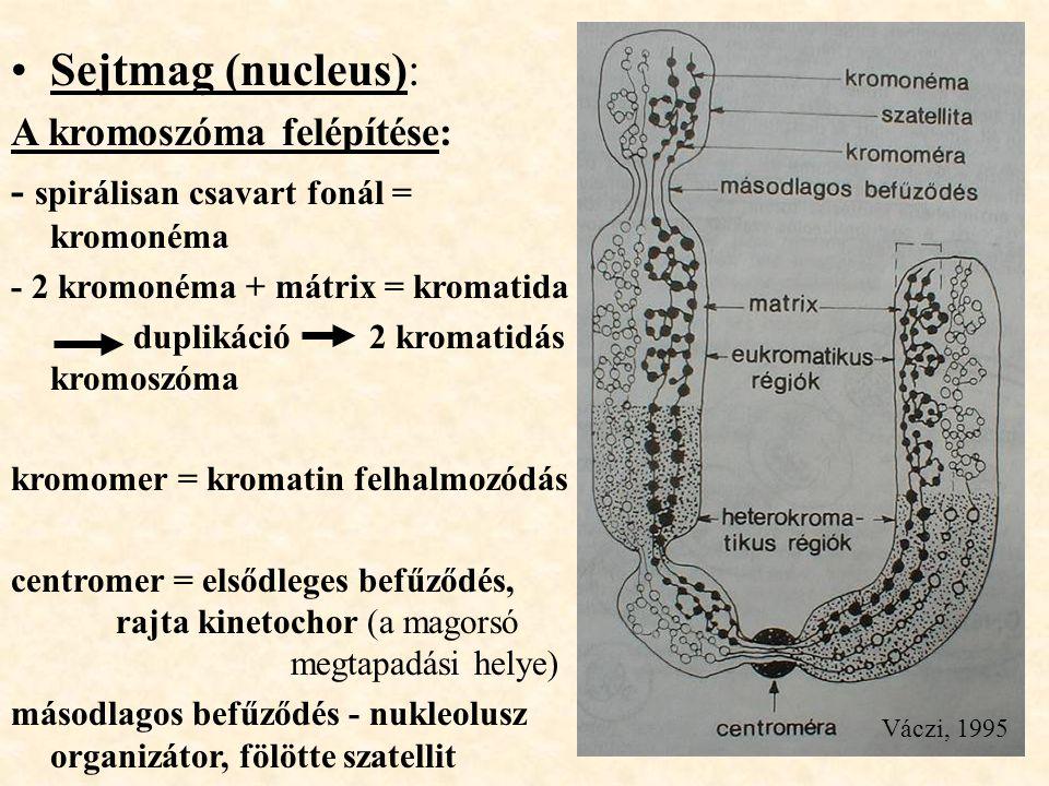 Sejtmag (nucleus): A kromoszóma felépítése: - spirálisan csavart fonál = kromonéma - 2 kromonéma + mátrix = kromatida duplikáció 2 kromatidás kromoszó