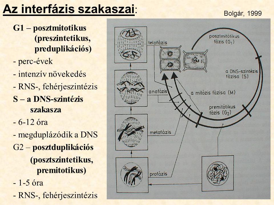 G1 – posztmitotikus (preszintetikus, preduplikációs) - perc-évek - intenzív növekedés - RNS-, fehérjeszintézis S – a DNS-szintézis szakasza - 6-12 óra