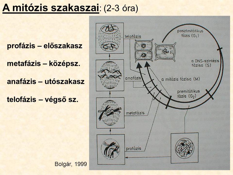 profázis – előszakasz metafázis – középsz. anafázis – utószakasz telofázis – végső sz. A mitózis szakaszai : (2-3 óra) Bolgár, 1999
