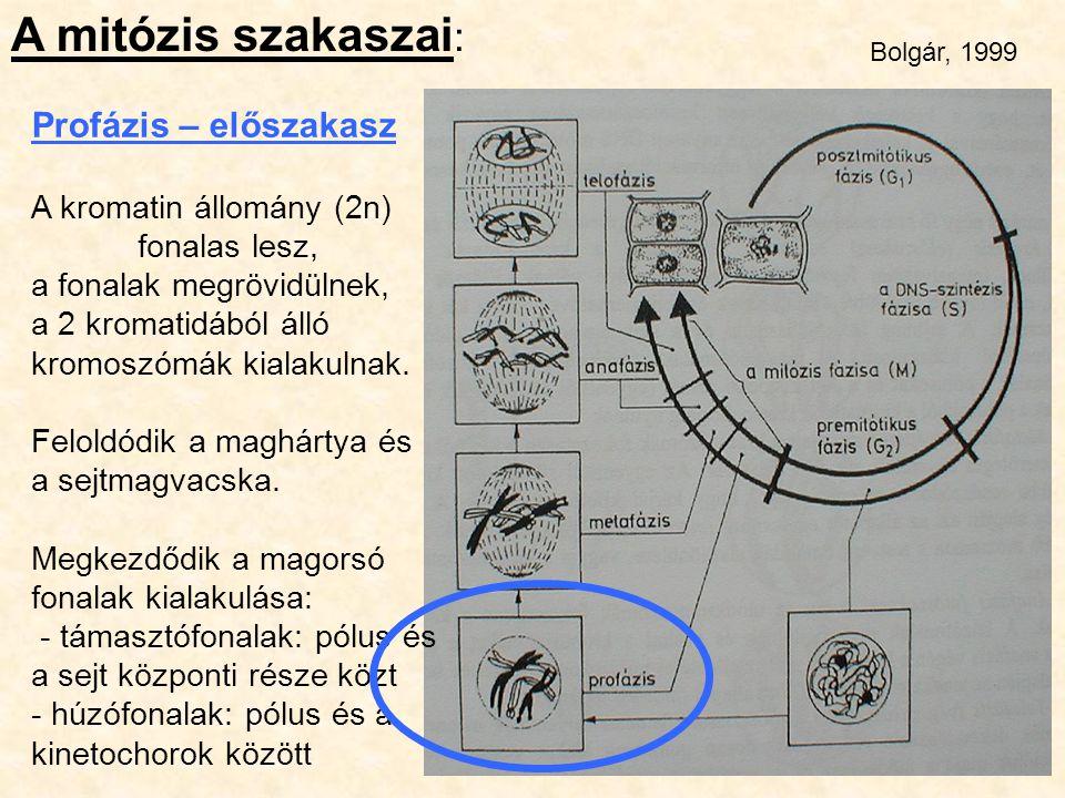A mitózis szakaszai : Profázis – előszakasz A kromatin állomány (2n) fonalas lesz, a fonalak megrövidülnek, a 2 kromatidából álló kromoszómák kialakul