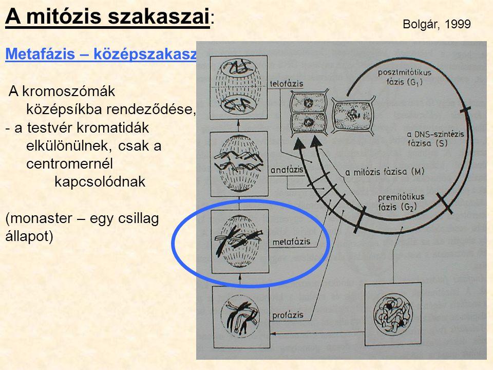A mitózis szakaszai : Metafázis – középszakasz A kromoszómák középsíkba rendeződése, - a testvér kromatidák elkülönülnek, csak a centromernél kapcsoló