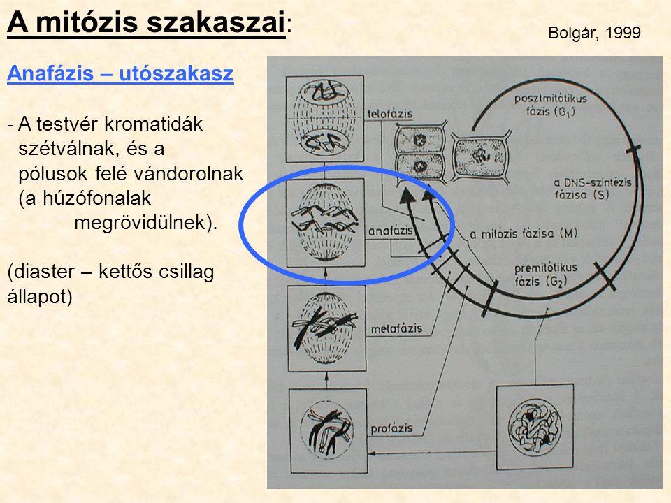A mitózis szakaszai : Anafázis – utószakasz - A testvér kromatidák szétválnak, és a pólusok felé vándorolnak (a húzófonalak megrövidülnek). (diaster –