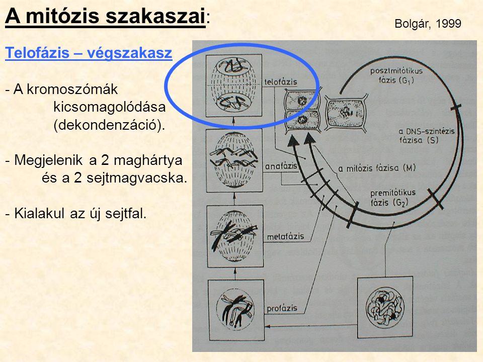 A mitózis szakaszai : Telofázis – végszakasz - A kromoszómák kicsomagolódása (dekondenzáció). - Megjelenik a 2 maghártya és a 2 sejtmagvacska. - Kiala