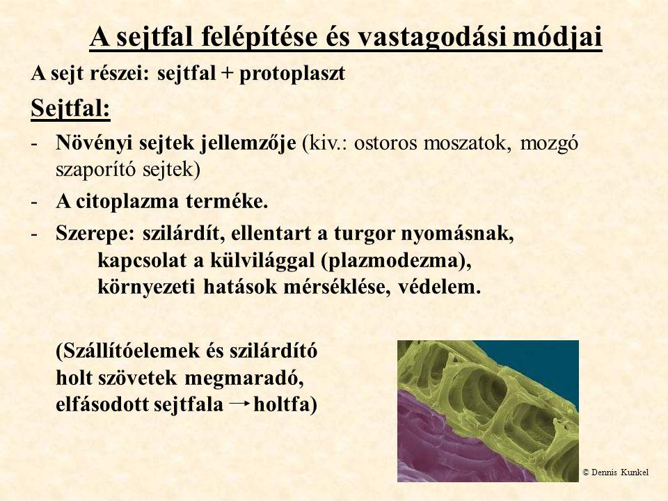 A sejtfal felépítése és vastagodási módjai A sejt részei: sejtfal + protoplaszt Sejtfal: -Növényi sejtek jellemzője (kiv.: ostoros moszatok, mozgó sza